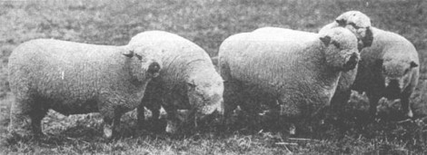 Shropshire rams 1904 bred by RP Cooper, England