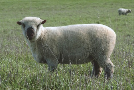 Wholearth Jazz 5 month ewe lamb
