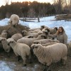 Montana w Shropshire sheep in winter