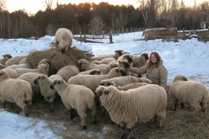 Montana w Shropshire sheep in winter