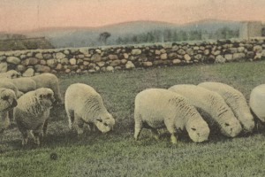 Shropshire sheep at Altamont stock farm in early 1900's..these lines were imported by the Millers
