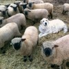 Sebastien guards his family of Shropshires...what will he do when CFIA kills them all?