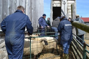 CFIA seizes and kills 9 heritage Shropshire sheep /Montana Jones photo