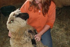 Before CFIA in happier times-Montana Sheep Shearing